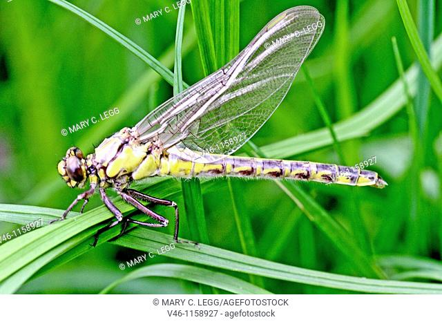 Newly emerged male Common Clubtail, Gomphus vulgatissimus clings to marsh grass in dense undergrowth  Wings are developed