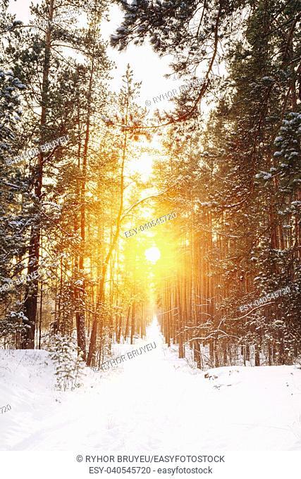 Gomel, Belarus. Amazing Beautiful sunset sunrise sun sunshine in sunny winter snowy coniferous forest