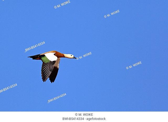 ruddy shelduck (Tadorna ferruginea, Casarca ferruginea), flying male, side view, Canary Islands, Fuerteventura