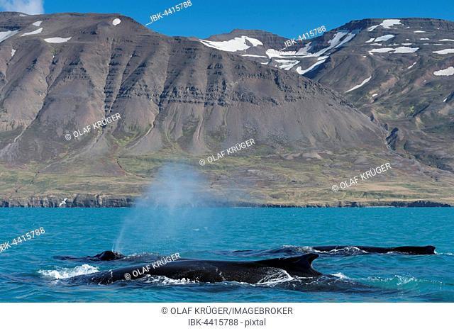 Humpback whales swimming and blowing, (Megaptera novaeangliae, Eyjafjörður, Iceland