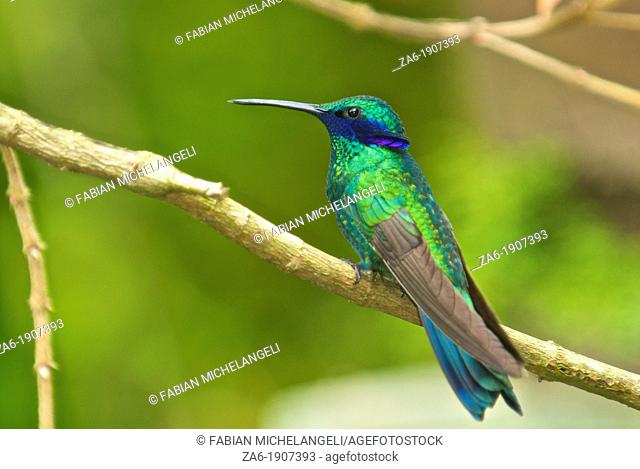 Sparkling violetear hummingbird Colibri coruscans perched in the rain forest of northern Venezuela