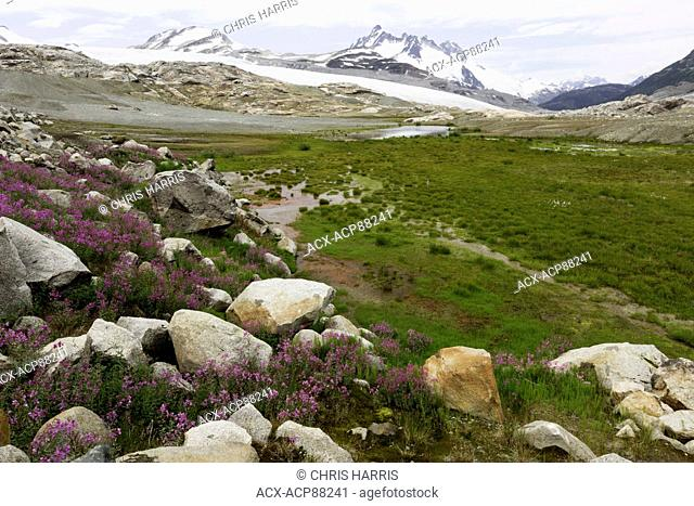 British Columbia, Canada, Chilcotin region, moraine landscape, first generation vegetation, broad-leaved willowherb, epilobium latifolium, Coast Mountains
