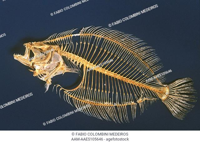 Fish Skeleton (Paralichthys triocellatus), Brazil