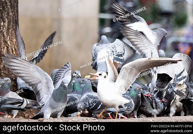 24 February 2020, Lower Saxony, Hanover: A seagull prevails over pigeons in the fight for leftover bread. The ordinance on public safety and order in the City...