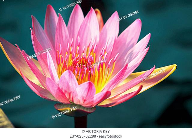 "Close to a water lily """"Nymphaea alba"""""""""""