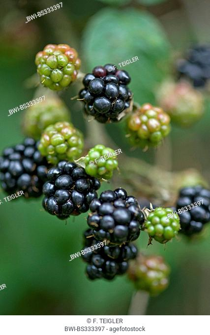 shrubby blackberry (Rubus fruticosus), branch with fruits, Germany