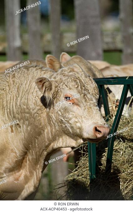 Young Charolais bull Bos taurus and other cattle on Barrie Island, Manitoulin Island, Ontario, Canada