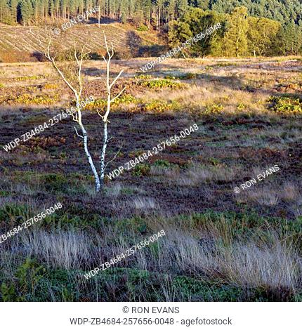 stark bare white Birch tree on heath in autumn Cannock Chase Area of Outstanding Natural Beauty Staffordshire