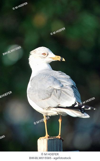 ring-billed gull Larus delawarensis, Jan 96