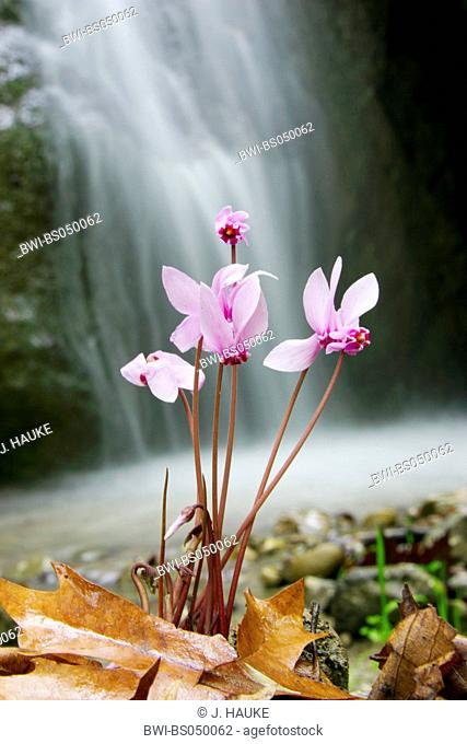 Ivy-leaved Cyclamen, hardy cyclamen (Cyclamen hederifolium, Cyclamen hederaefolium, Cyclamen neapolitanum), blooming plants in front of a waterfall, Italy