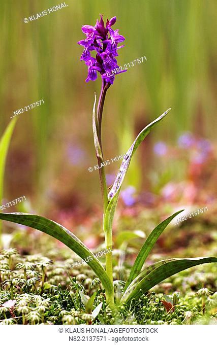 Southern marsh orchid (Dactylorhiza praetermissa) in marsh field - Germany