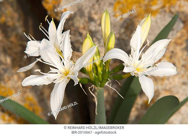 Illyrian Sea Lily (Pancratium illyricum), Sardinia, Italy, Europe
