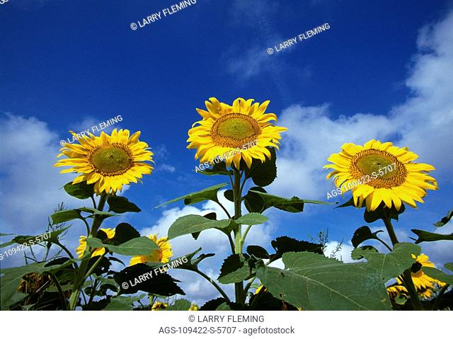Agriculture - Sunflowers, grown for oilseed production / KS