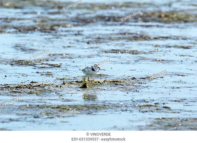 Piping Plover appears to be using weed as cover