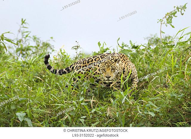 Jaguar (Panthera onca) with injured eye, searching for pray, Pantanal, Mato Grosso, Brazil
