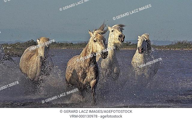 Camargue Horse, Group galloping through Swamp, Saintes Marie de la Mer in Camargue, in the South of France, Slow Motion
