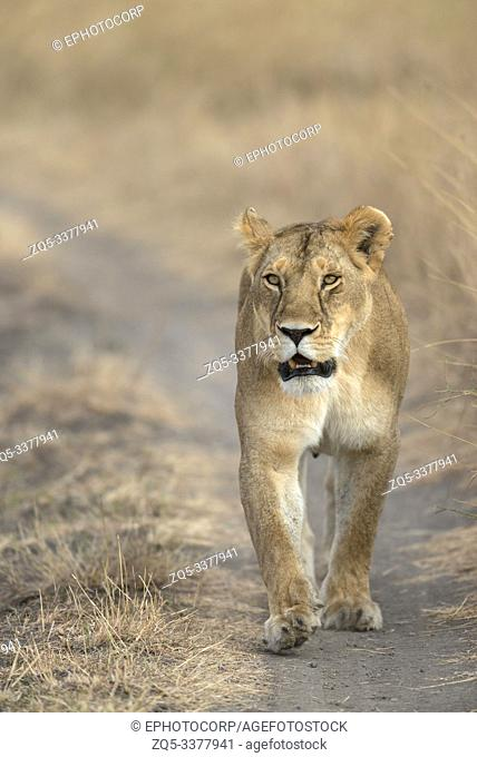 Lioness walking on road at Masaimara in Africa