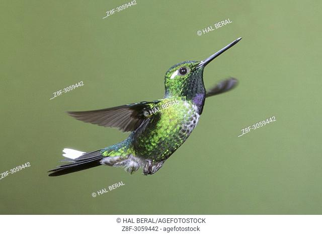 Purple-Bibbed Whitetip Hummingbird male flying (Urosticte benjamini). Ecuador