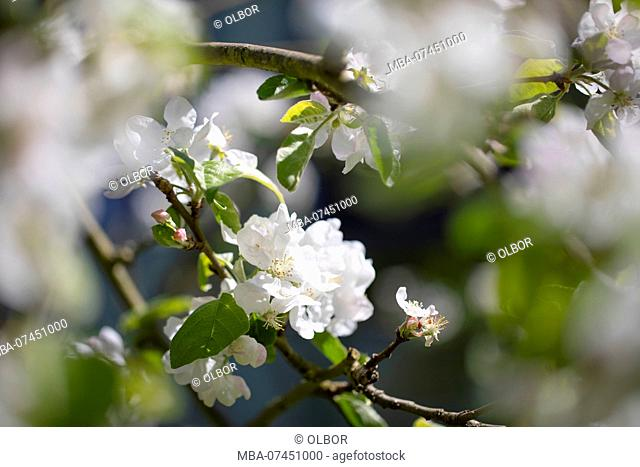 Blossoms on apple tree in spring