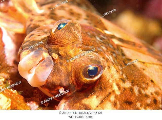 Lemon sole Microstomus kitt, Arctic, Russia, Barents sea