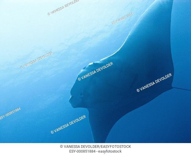 Manta ray in the Andaman sea, Thailand  V10THA5284