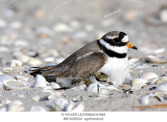 Ringed Plover (Charadrius hiaticula) brooding on a nest with a chick