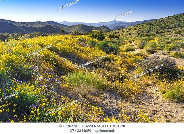 Spring wildflowers blooming in Joshua Tree National Park, California, USA