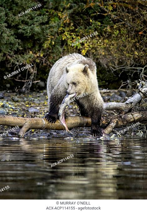 Grizzly Bear (Ursus arctos horribilis), Third year blond cub on river bank of salmon stream feeding on Sockeye Salmon (oncorhynchus nerka) Fall, Autumn