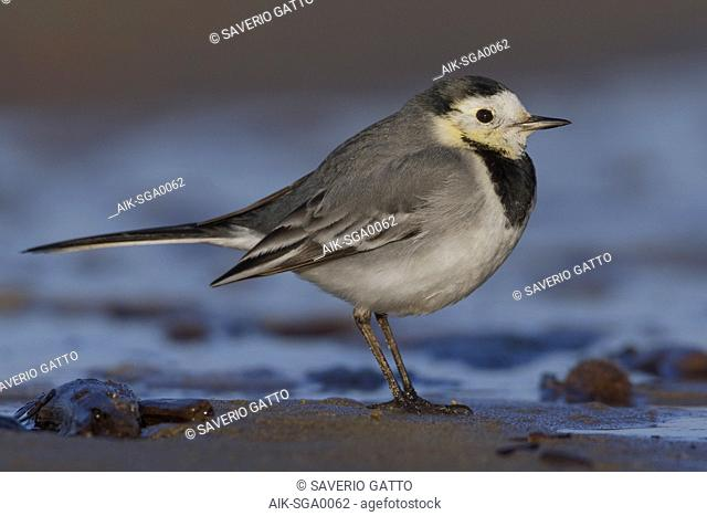 White Wagtail, Adult standing on the sand, Campania, Italy (Motacilla alba)