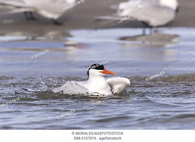 Central America, Mexico, Baja California Sur, Puerto San Carlos, Magdalena Bay (Madelaine Bay), . Royal tern (Thalasseus maximus), having a bath