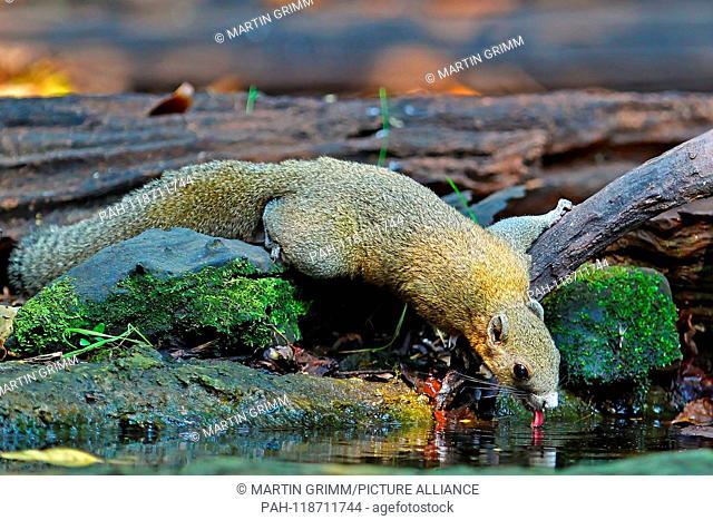 Grey-bellied Squirrel (Callosciurus caniceps) drinking at waterhole in rainforest, Kaeng Krachan National Park, Thailand | usage worldwide