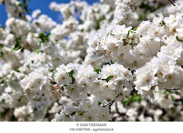 White flowers bursting into bloom on a crabapple (Malus) tree growing in Markham, Ontario, Canada. - MARKHAM, ONTARIO, CANADA, 22/05/2016