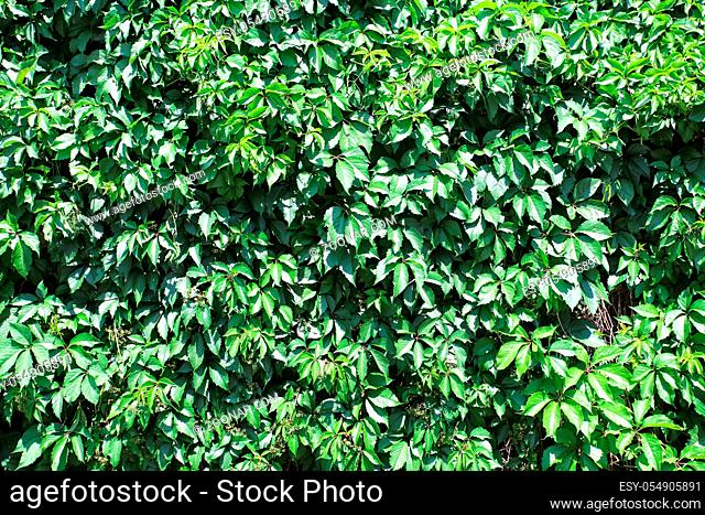 Green leaves as natural background in summer
