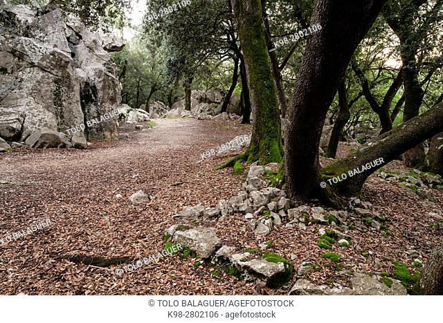 Forest of oaks and karst rock, Es Pixarells, escorca, natural site of the Sierra de Tramuntana, Mallorca, Balearic Islands, Spain