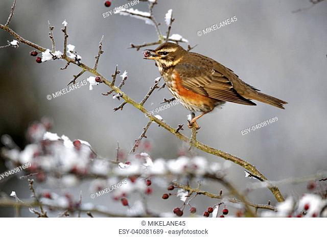 Redwing, Turdus iliacus, single bird feeding on frosty hawthorn berries, Midlands, December 2010