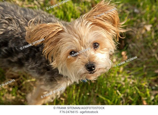 Yorkshire terrier, MR 120513