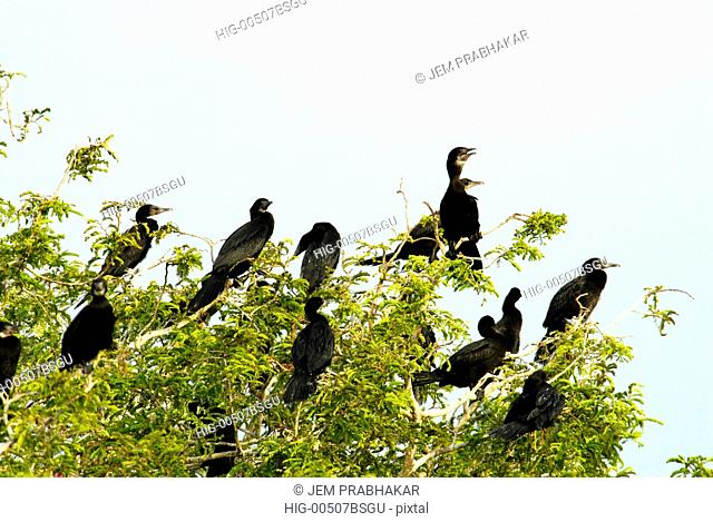 LESSER CORMORANTS IN KOONTHAKULAM BIRD SANCTUARY, TAMILNADU, INDIA