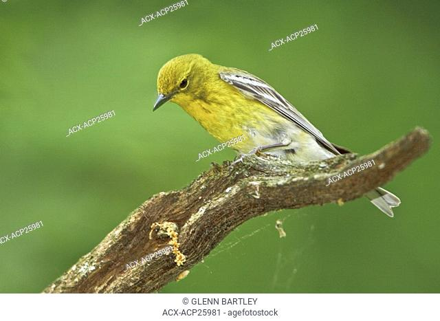 Pine Warbler Dendroica pinus perched on a branch near Huntsville, Ontario Canada
