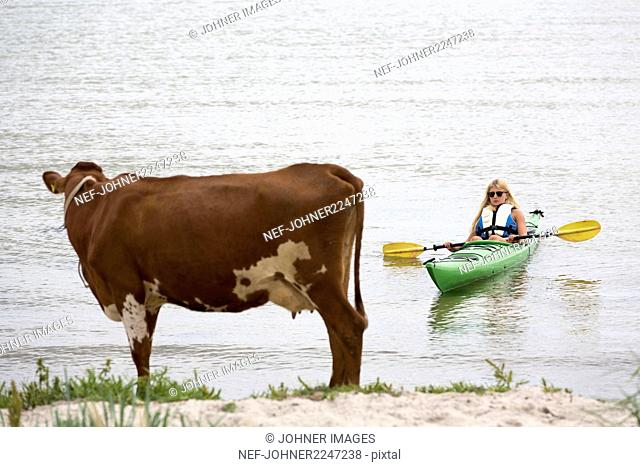 Woman kayaking, cow on beach on foreground