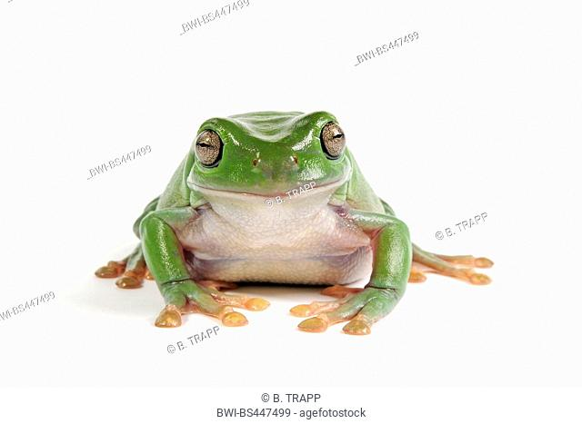 Green Tree Frog White's Treefrog (Litoria caerulea, Hyla caerulea, Pelodryas caerulea), front view, cutout