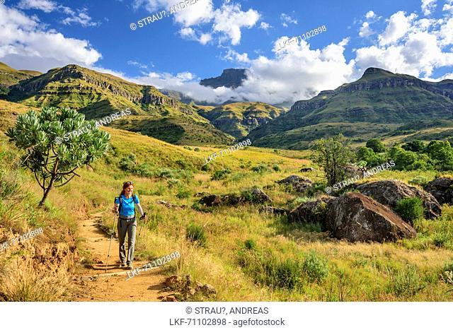 Woman hiking descending through valley of Sterkspruit, Monks Cowl, Mdedelelo Wilderness Area, Drakensberg, uKhahlamba-Drakensberg Park