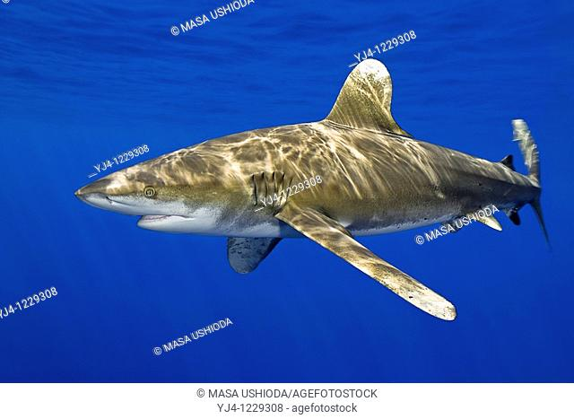 oceanic whitetip shark, Carcharhinus longimanus, Kona Coast, Big Island, Hawaii, USA, Pacific Ocean