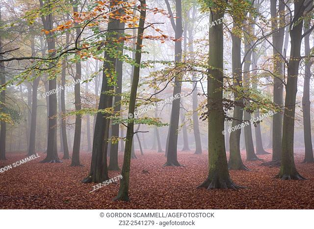 Foggy conditions in an autumnal woodland in Essex, England, United Kingdom