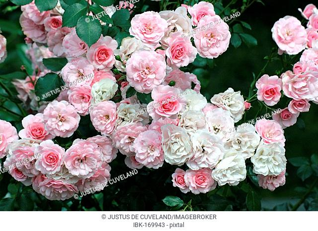 Rose - Rosa Bonica 82