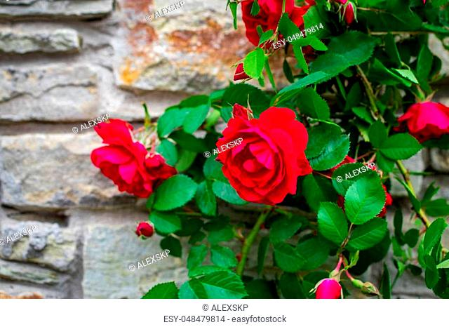 Beautiful rose bush old stone wall background with copy space