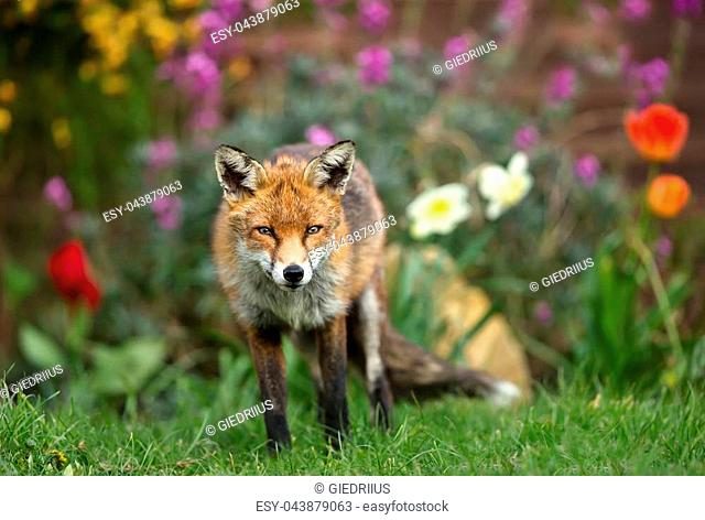 Red fox standing in the garden with flowers, spring in UK