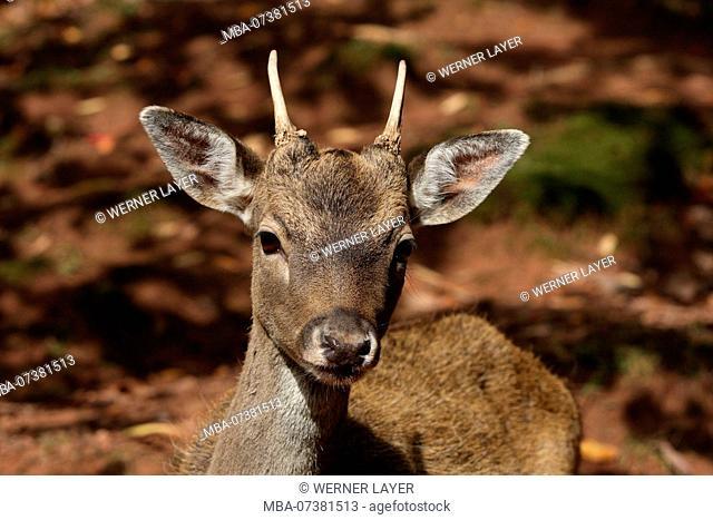 Fallow deer, young, portrait