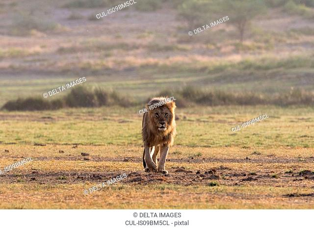 Male lion (Panthera leo), Ndutu, Ngorongoro Conservation Area, Serengeti, Tanzania