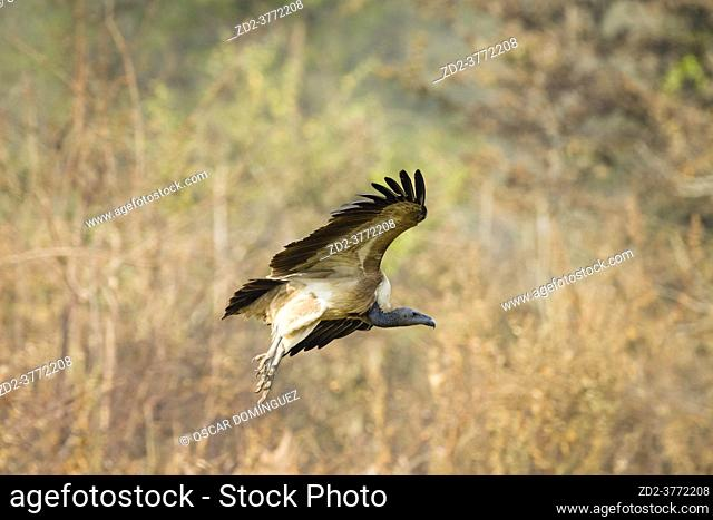 Slender-billed Vulture (Gyps tenuirostris) in flight after feeding on carrion. This species has been listed as Critically Endangered on the IUCN Red List