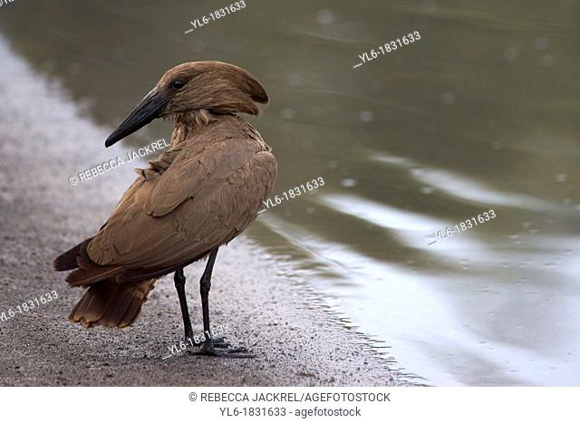 A Hammerkop pauses on the shore of a lake in Ethiopia